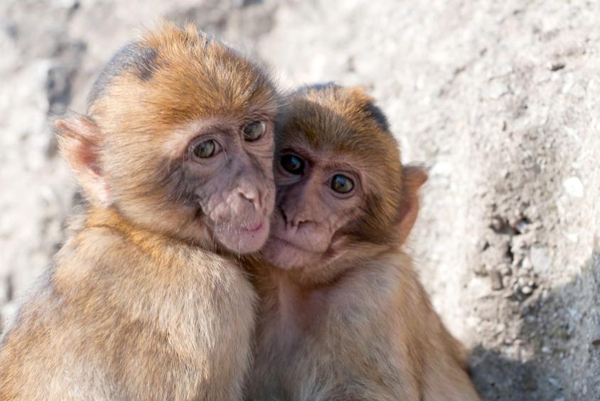 apes den 1