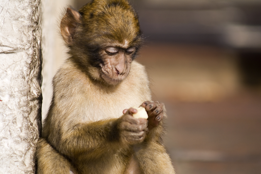 Gibraltar attractions Barbary apes